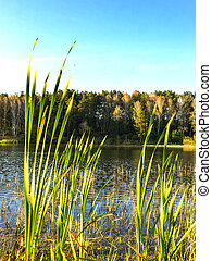 Reeds on the banks of a pond and green forest background, midday in sunny day with white clouds against the blue sky.
