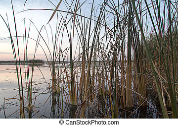 reeds on the lake at sunrise