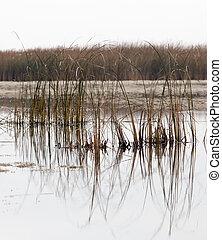 reeds on the lake at sunrise