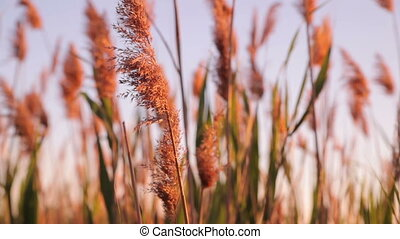 reeds on the lake just before sunset. panorama