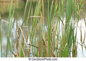 reeds on the river