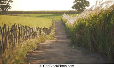 Reeds path on the farm