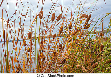Reeds plant on the river with blue sky with cloud