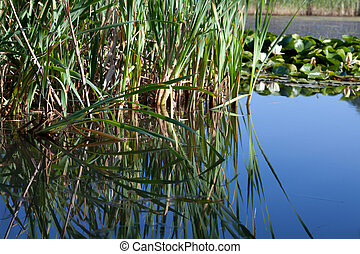 Reeds reflected in the still water of a pond