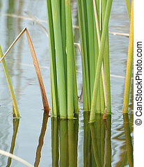 Reeds reflecting - Reeds in pond