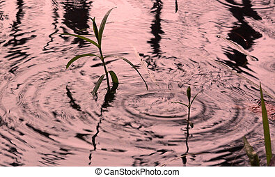 reeds reflection in pond