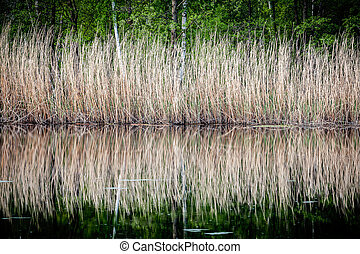 Reeds reflections in water.
