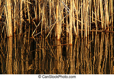 Reeds - Reflections of a reed bed in a pond