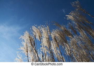 Reeds shining in the sun