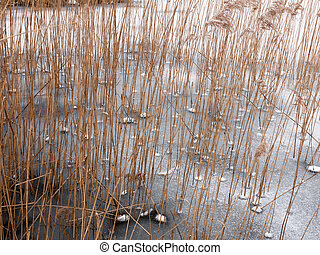 reeds standing frozen lake water surface outside nature winter cold