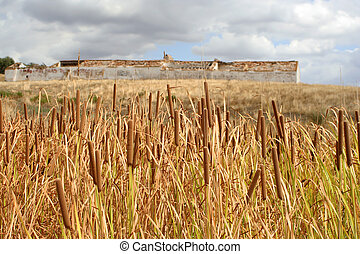 reeds with abandoned building in the background
