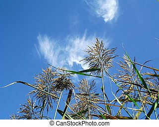 Reeds With Blue Sky 1