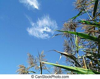 Reeds With Blue Sky 3