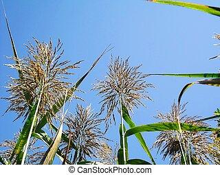 Reeds With Blue Sky 5