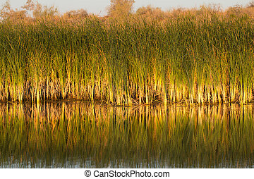 reeds with reflection in the lake