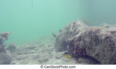 Lonely Reef fish on rock underwater swimming and feeding Florida Keys