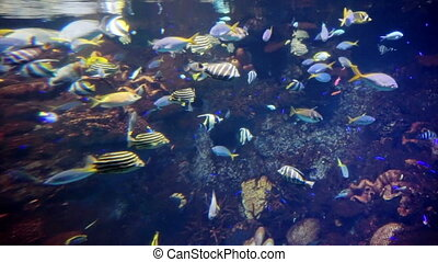 reef fish swim peacefully among the corals in the background and soft corals