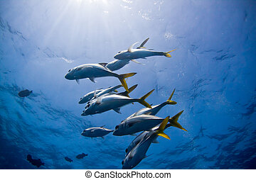 A small school of trevally hower above a coral bomie in Belize.