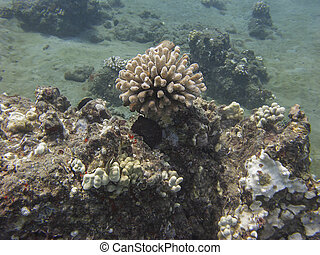 Octopus hidding in a reef with other fishes