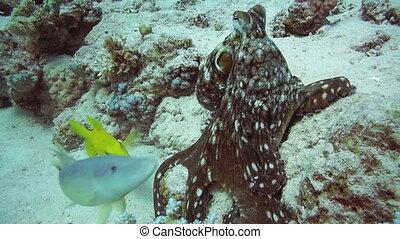 Reef octopus (Octopus cyaneus) in the Red Sea, Egypt.