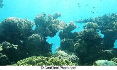 reef., rote koralle, meer