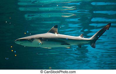Reef shark - the hound shark (Triaenodon obesus)