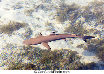 Reef shark , the top view through crystal clear water
