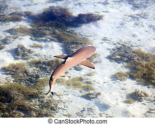 Reef shark , the top view through c