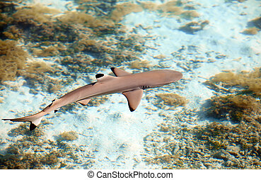 Reef shark , the top view through crystal-clear water