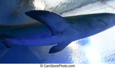 Reef sharks swim in the Shark Pool - EILAT, ISR - APRIL 16...