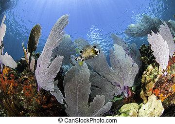 reefs corallo, di, nord america