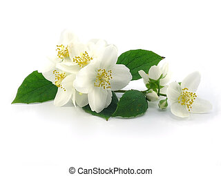 reeks, flowers:, tak, van, fris, jasmijn