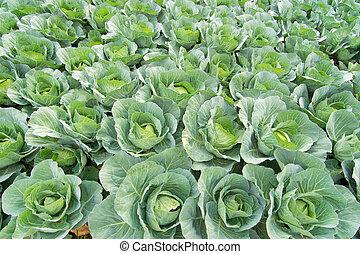 reen cabbage in field