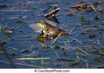 Reflected Toad in the Water