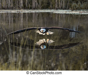 Reflection - Bald Eagle flying across the pond, admiring his...