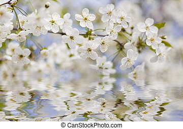 Reflection in the water blossoming cherry. Spring time.