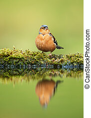 Reflection of a chaffinch by the pond