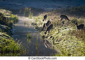 Reflection of antlers herd drinking water from the river at sunrise