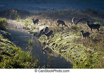 Reflection of antlers herd standing near the river at sunrise