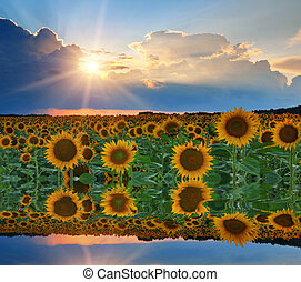 Reflection of sunflowers and sunset sky in the water