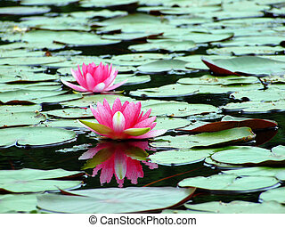 Reflection of the lotus