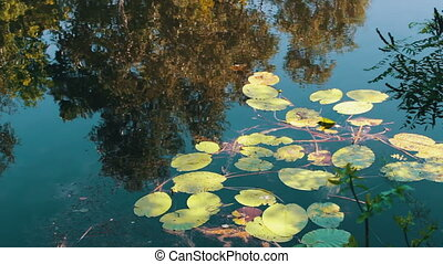 Reflections of trees, foliage and water lilies are swaying ...