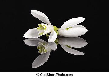 reflet, printemps, isolé, fond, noir, miroir, fleurs blanches, perce-neige