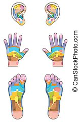 Reflexology zones - ears, hands and feet colored with the corresponding internal organs and body parts. Vector illustration over white background.