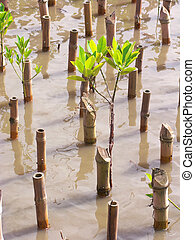 Reforestation - Young mangrove tree bind together cane for...