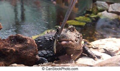 refuser, reptile, nain, non, espèces, africaine, closeup, exotique, affamé, alimentation, manger, crocodile, afrique