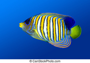 Regal Angelfish - a colorful tropical regal angelfish on a...
