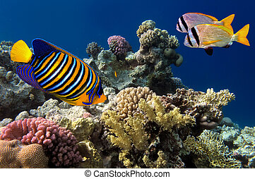 Regal Angelfish in the Red Sea, Egypt