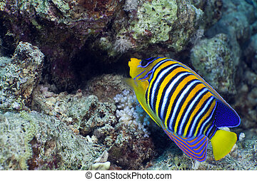 Regal angelfish in the Red Sea.