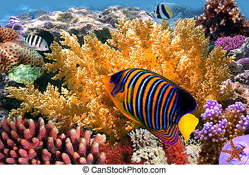 regal angelfish (pygoplites diacanthus) and coral reef
